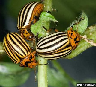 Potato_beetle
