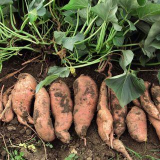 Sweet+Potato