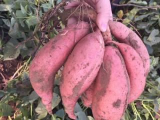 Sweetpotato011