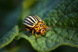 Colorado-beetle-ccby-sa-andriux-uk
