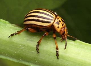Colorado_potato_beetle