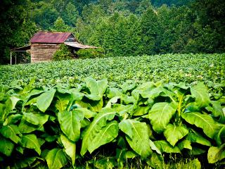 Tobacco-farm-barn-green-smoke-cigarettes-cigars
