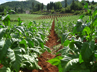 Tobacco-farm