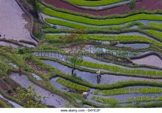 Farmer-works-in-terraced-rice-fields-yuanyang-china-d4ye2p