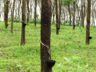 Rubber_trees_in_Kerala _India