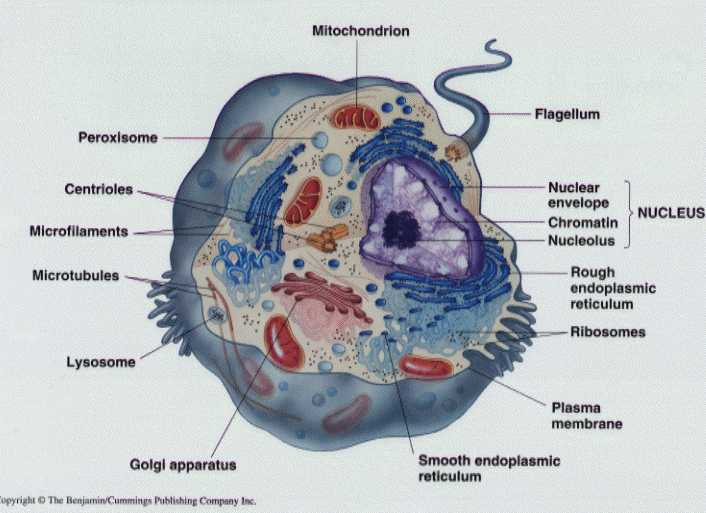 Cell structure basic review ccuart Images